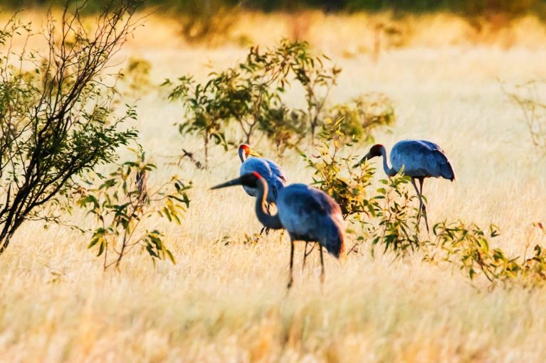 2 Brolga's are seen throughout the Kimberley region. Well known for their elaborate courtship dance they feed in dry grassland habitats_ - Day 12